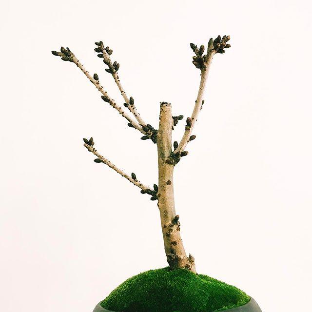 【neo_green】さんのInstagramをピンしています。 《. 芝生の上で大きく深呼吸 春はまだかな . #御殿場桜 #neogreen #ネオグリーン #盆栽 #bonsai #桜 #桜盆栽 #東急プラザ銀座 #ヒンカリンカ》