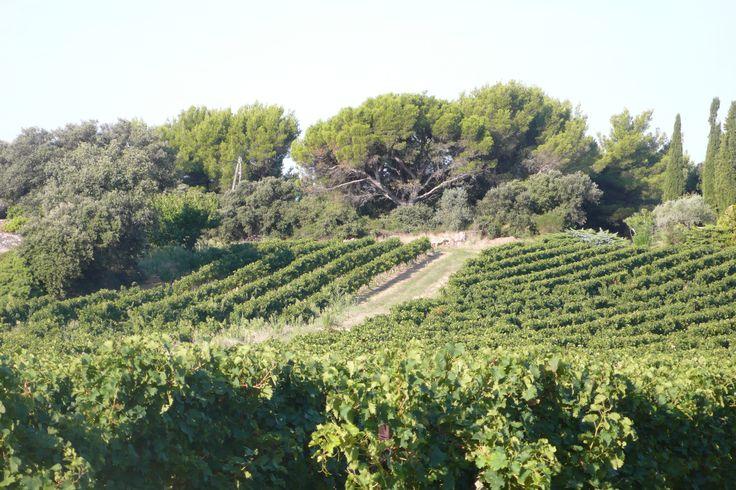 Beaumes de Venise Vine Landscape - Rhonéa