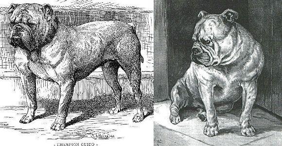 Gallery | The Victorian Bulldog Foundation
