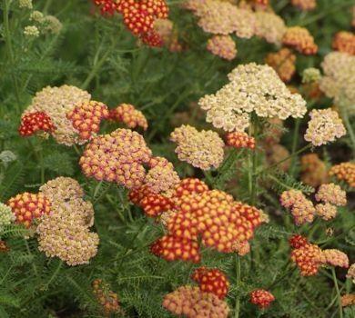 KRWAWNIK DESERT EVE RED ACHILLEA MILLEFOLIUM - Sklep internetowy oferujący wieloletnie rośliny ozdobne (doskonale sadzonki byliny, krzewy, rośliny na suche bukiety, skalniaki). Wysyłka roślin ze szkółki roślin ozdobnych MAGDA,