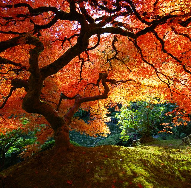 Beautiful: Japanese Maple Trees, Japan Beauty, Amazing Trees, Japanese Beauty, Japanese Gardens, Amazing Nature, Japan Maple Trees, Japan Gardens, Portland Oregon