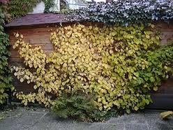 hortensia petiolaris automne