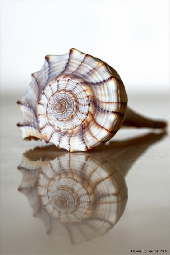 Male Welk shell the only left handed shell in America Female Welks have a lighter color. || Photograph by Claudia Domenig ~ she found this shell at Naples Beach, Naples, FL.