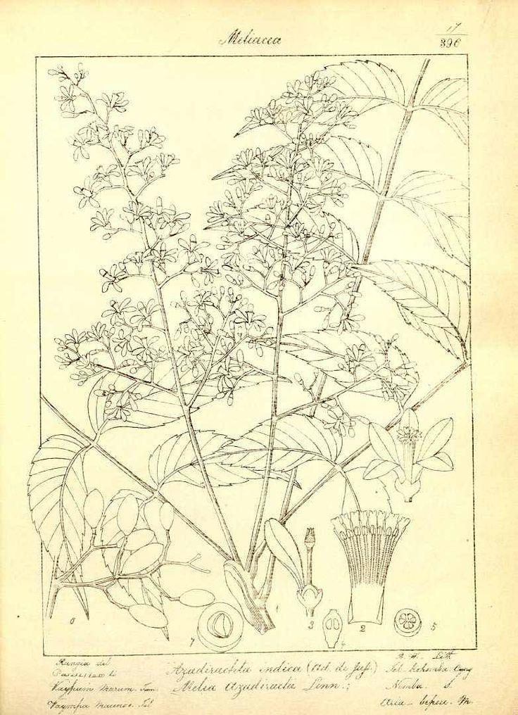 Neem,   Azadirachta indica A. Juss. / Wight, R., Icones Plantarum Indiae Orientalis, vol. 1 (1846)
