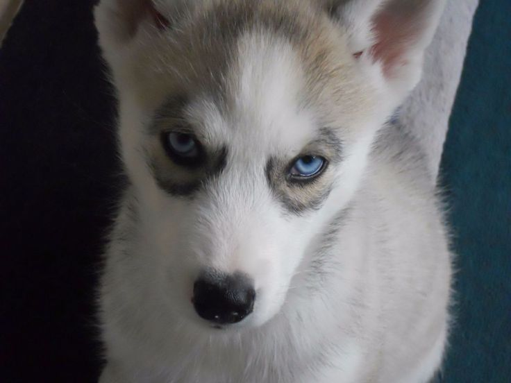 Genesis Pomskies Review – Tennessee Pomsky Breeder
