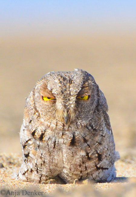 Owl on the beach - Africa Geographic Magazine Blog