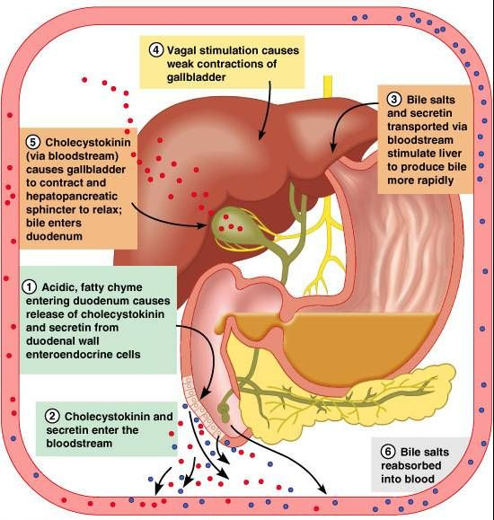 Regulation of bile release in the digestive system