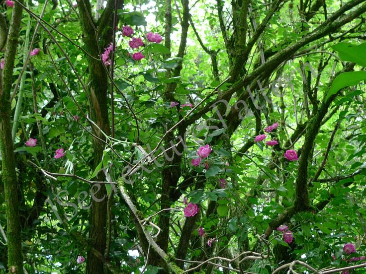 Roses rambling in thicket photograph instant digital download, green foliage elder bush, pink climbing roses, twigs branches texture pattern by ISeeTexturesPattern on Etsy