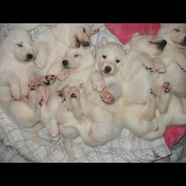 Beautiful German Shepherd / Wolf puppies / cubs. Bringing home Luna May in 3 days!