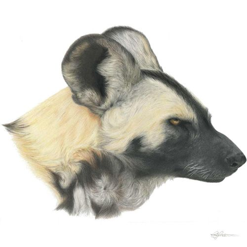A portrait of Hasani, my favourite African Painted Dog from Perth Zoo (Western Australia). I'm observing the pack as my Honours project looking at their social behaviour, in particular how they deal with conflict and construct and maintain their dominance hierarchies.