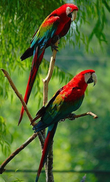 A Pair of Parrots by Wes Thomas  See them by the hundreds in Copan, Honduras.  Unbelievable the trees look like they are on fire.