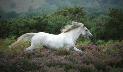 Pony Galloping in the New Forest