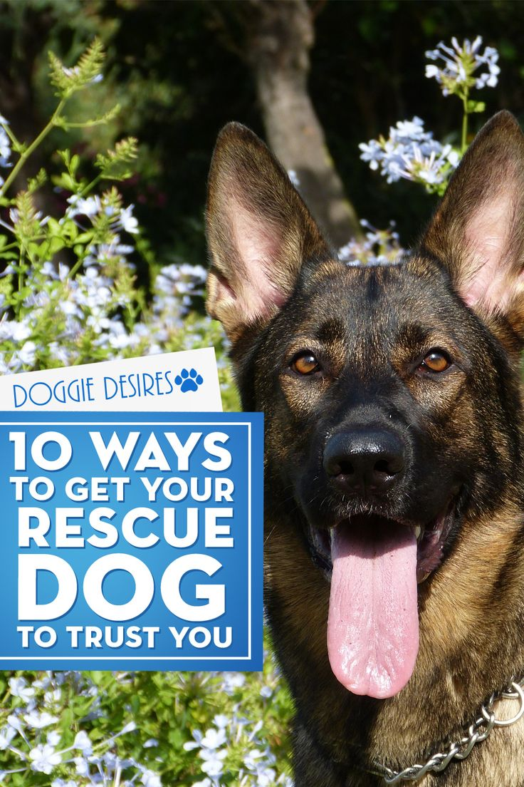 Have a rescue or thinking of getting one, but worried about potential trust issues? Here's 10 ways to get your rescue dog to like you >> http://doggiedesires.com/10-ways-get-rescue-dog-trust/