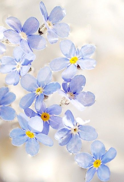 Some forget me not flowers in water (by Joanna... |