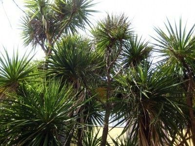 Cabbage Tree Palms – Information On Growing A Cabbage Palm Tree