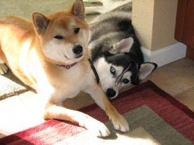 Shiba Inu and Siberian Husky lying next to each other. They are best friends.