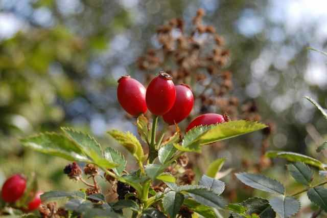 Pick rose hips after 1st frost for the sweetest taste.  Cut in half, clean out the seeds.  Can eat raw...3 hips = vitamin C in 1 orange. Rose hips have 20 times more vitamin C than an orange, ounce per ounce.  Eat raw, dry them in the oven (dehydrate) or just add 12 rose hips to pan & boil for 15 minutes to make tea.