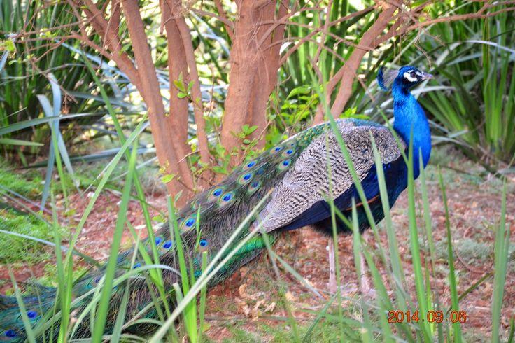Pou/Peacock at Sondela