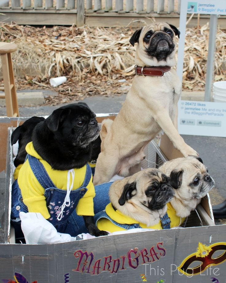 """The Minion Pugs got to meet Norm the pug from Instagram. He's the famous """"selfie pug"""". His username there is @Jeremy Veach!"""