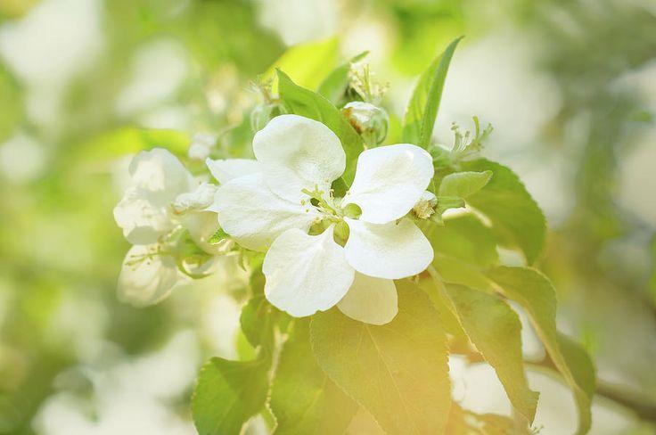 Jane Star Photograph - Springtime - Blooming Tree - 5, Tone 1 by Jane Star  #JaneStar #Spring #AppleTree #ArtForHome #InteriorDesign #HomeDecor