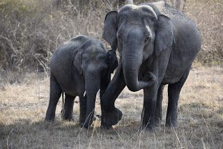 Wildlife and Wildlife Photography: Wildlife and Wildlife Photography - Elephants, Ban...