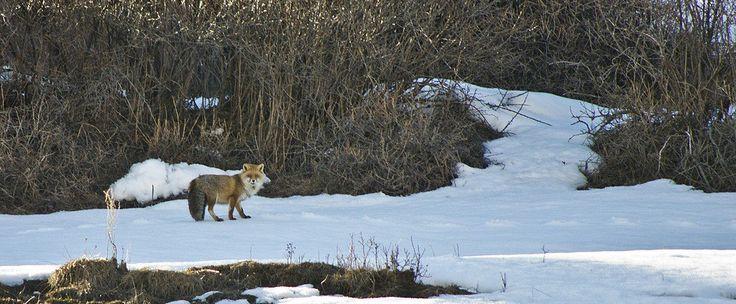 Piacevoli incontri sulla neve #volpe #Queyras #inverno