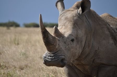 The African white rhino