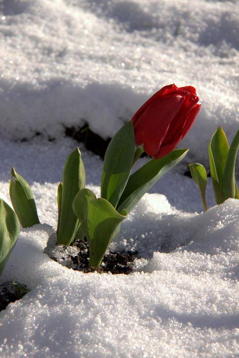 Snow & Tulip.