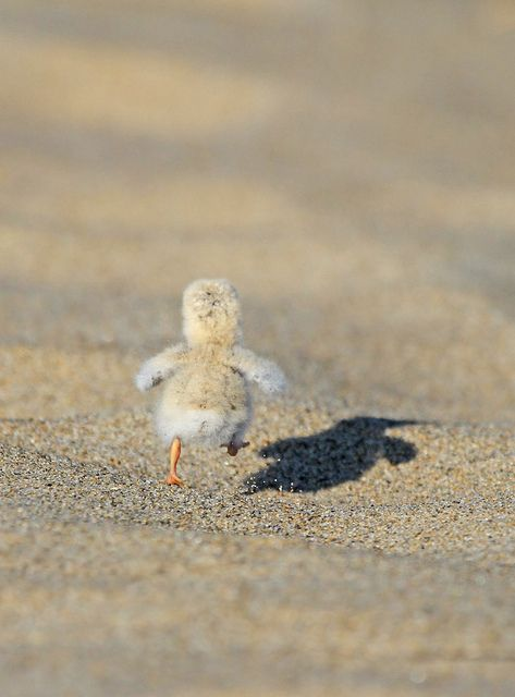 """Least Tern Chick"" by Ryan Schain:  ""While watching several species of terns at Sandy Point, I nearly stepped on this newborn Least Tern chick that was resting in the sand. This bird was literally the size of a cotton ball with toothpicks for legs. I almost missed the shot of it running away, as I was literally cracking up."""