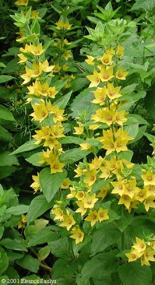Lysimachia punctata. Garden loosestrife/yellow loosestrife. NOT related to the invasive purple loosestrife.