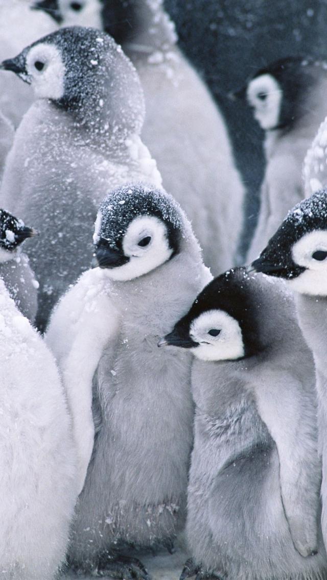 iPhone5壁紙(640x1136) かわいい 動物 ペンギン