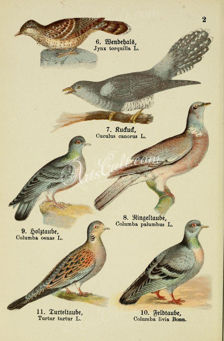 Eurasian Wryneck, Common Cuckoo, Stock Dove, Common Wood Pigeon, European Turtle Dove, Rock Pigeon      ...