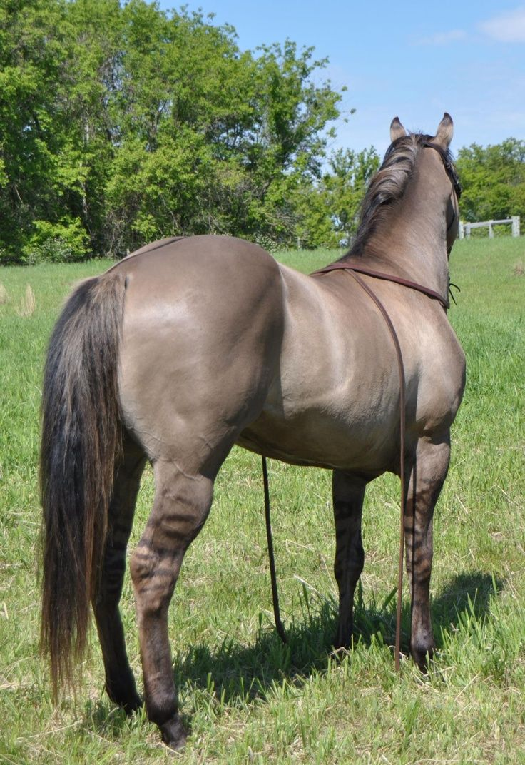 Grulla quarter horse stallion Kansas City Twister. He is homozygous black and he carries the cream gene. No red foals.