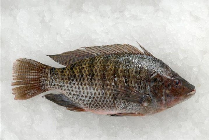 St. Peters Fish. Native to the Sea of Galilea Israel. Today it is one of the most popular fish around the World. The lowest in toxic mercury and lead.