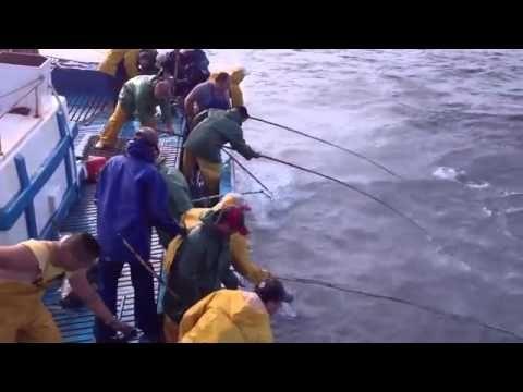 Pesca de atum com salto e vara embarcação Flor do Pico Açores    YouTube