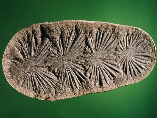 Calamites Fossil, Photo by James L. Amos. Carboniferous period, about 300 million years ago