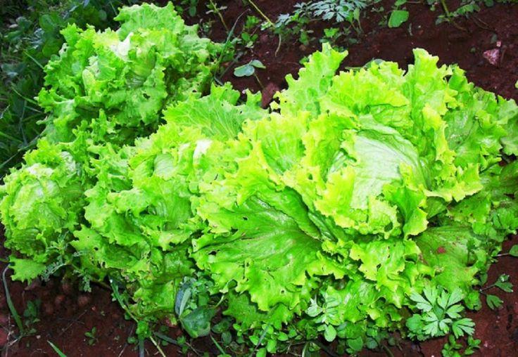 Lettuce- lechuga