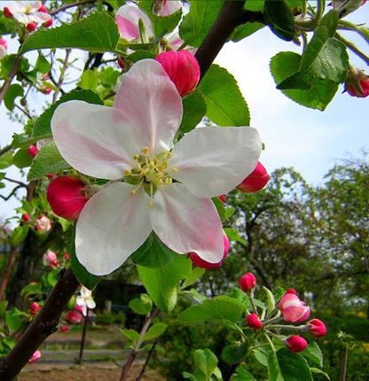 1000 Ideas About Apple Blossom Tattoos On Pinterest