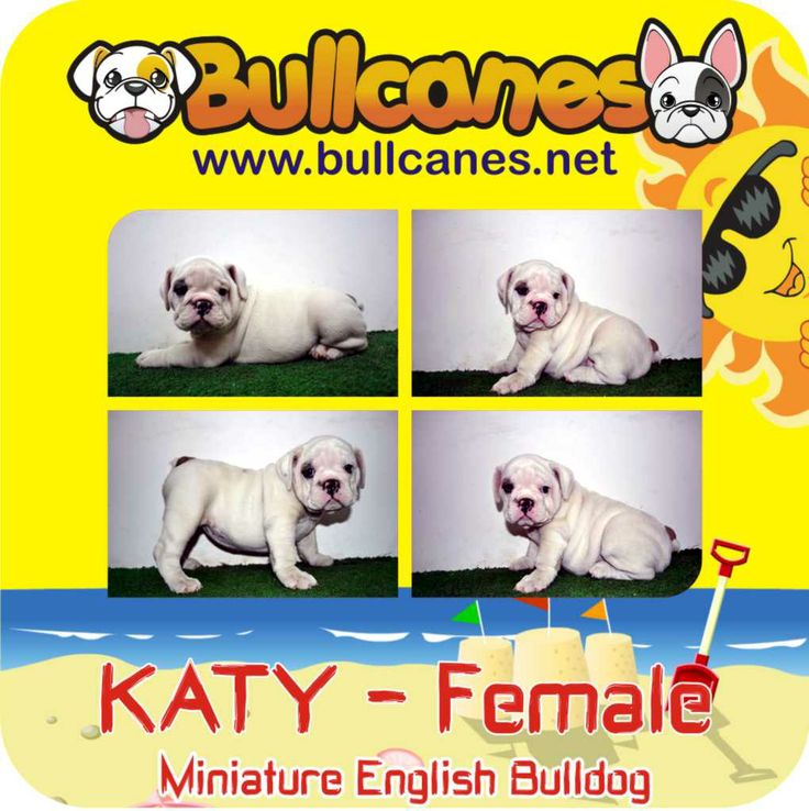 KATY MINIATURE ENGLISH BULLDOG PUPPIES  http://www.bullcanes.net / ceo@bullcanes.net / Facebook: bullcanes1@hotmail.com / instagram: @BULLCANES Bulldog puppies for Sale / Twiter: bullcanes1 / YouTube: Bullcanes Bulldog Kennel