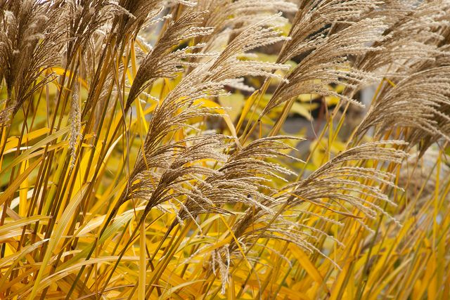 Miscanthus 'Malepartus' - this one colors up gloriously in the fall.