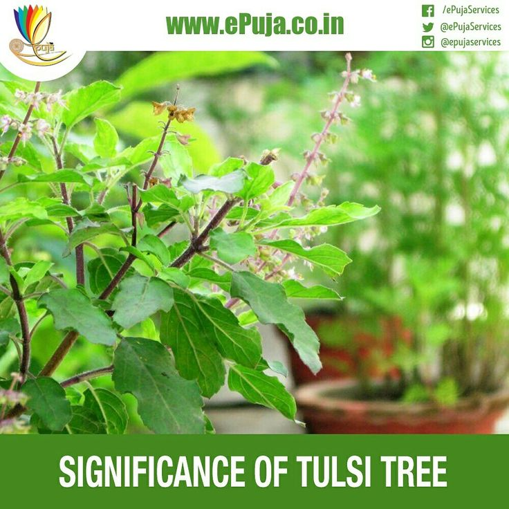 In Hinduism, Tulsi is given the status of a mother. Also known as 'Sacred or Holy Basil', Tulsi, has been recognized as religious and spiritual in many parts of the world. Like the Sanjeevani herb, Tulsi has great medicinal properties too. It is a magnificent antibiotic and helps in boosting immunity and stabilizing health conditions. The vedic sages realized the benefits of Tulsi. Hence, it was personified as a goddess to show its importance to the world. Legends also say, that snakes do…