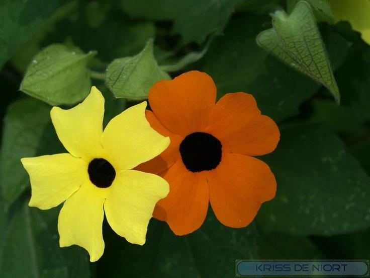 http://faaxaal.forumgratuit.ca/t1882-photos-de-fleurs-suzanne-aux-yeux-noirs-thunbergie-thunbergia-alata-black-eyed-susan-endomelas-alata