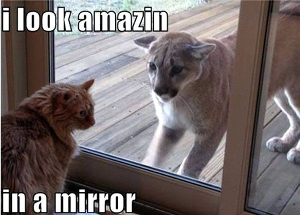 cat self concept: Funny Animals, Amazing, Mirror, Cats, Funny Stuff, Funnies, Humor, Mountain Lion
