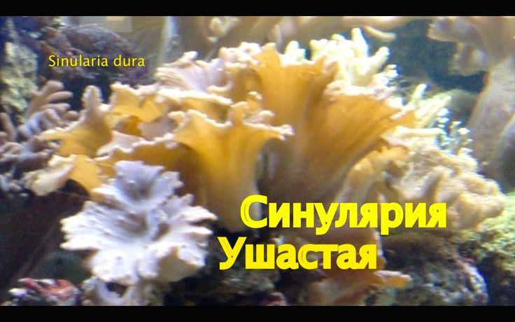 Коралловый сад. Синулярия Ушастая (Sinulаria dura)