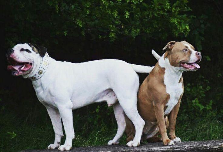 Bulldog, pitbull, bestiacollars, fun