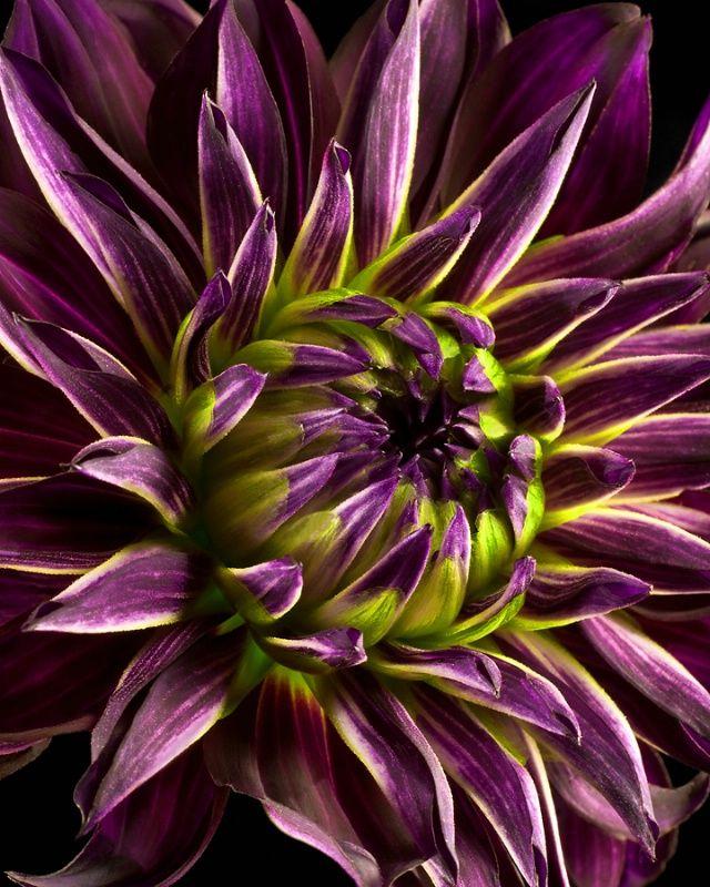 'Purple Haze' Dahlia by Robert Mann