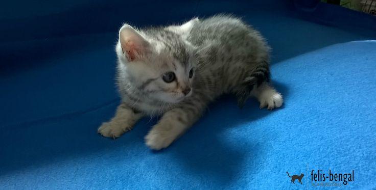 Pisica snow leopard | Felisbengal Sunt destul de mare să particip și singur la o ședință foto. http://felisbengal.ro/bengalcat-pui-disponibili/