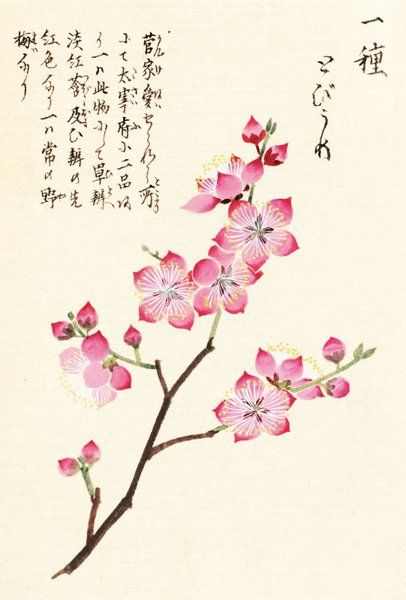 Honzo Zufu [Cherry Blossum]  [Illustrated manual of medicinal plants] by Kan'en Iwasaki (1786-1842). Wood block print and manuscript on paper. Japan, 1828