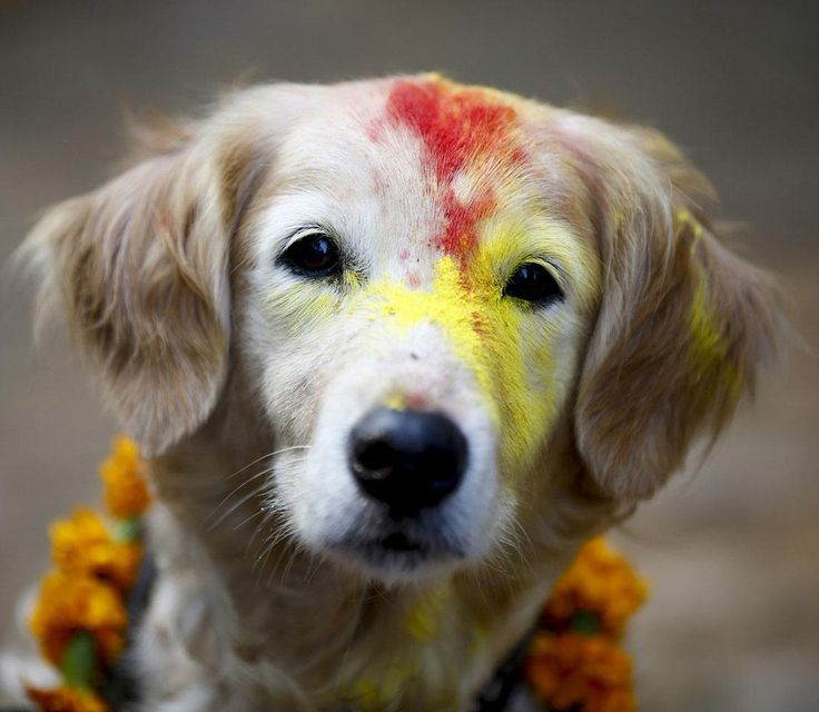 Each year, during the Kukur Tihar festival, hindus in Nepal celebrate dogs,  man's