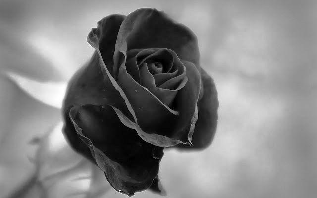 Gambar Bunga Mawar Hitam Yang Cantik